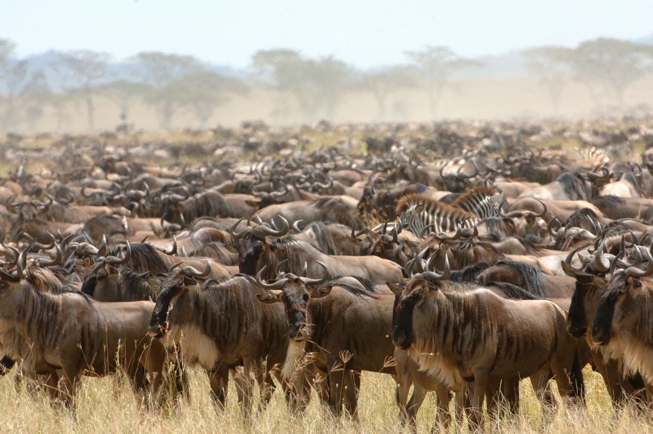 Here is everything you need to know to get the most out of Africa's Great Migration, a natural phenomenon known as the greatest show on earth.