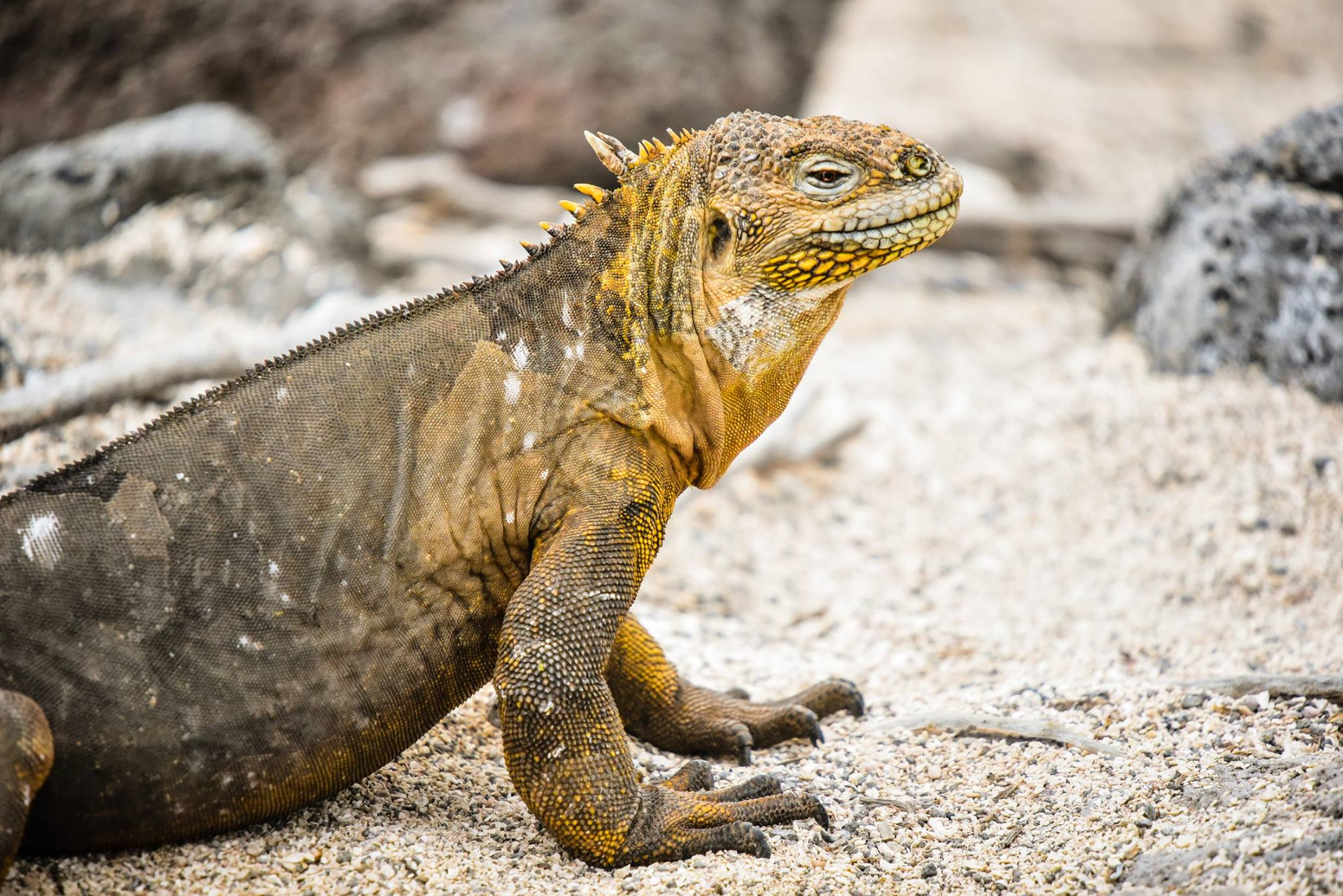 Silversea Cruises will recommence cruises among the Galápagos Islands with new itineraries aboard its new ship Silver Origin.